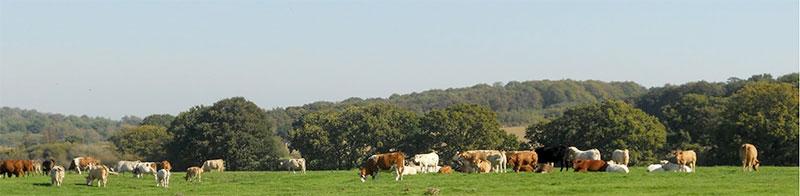 cow-field